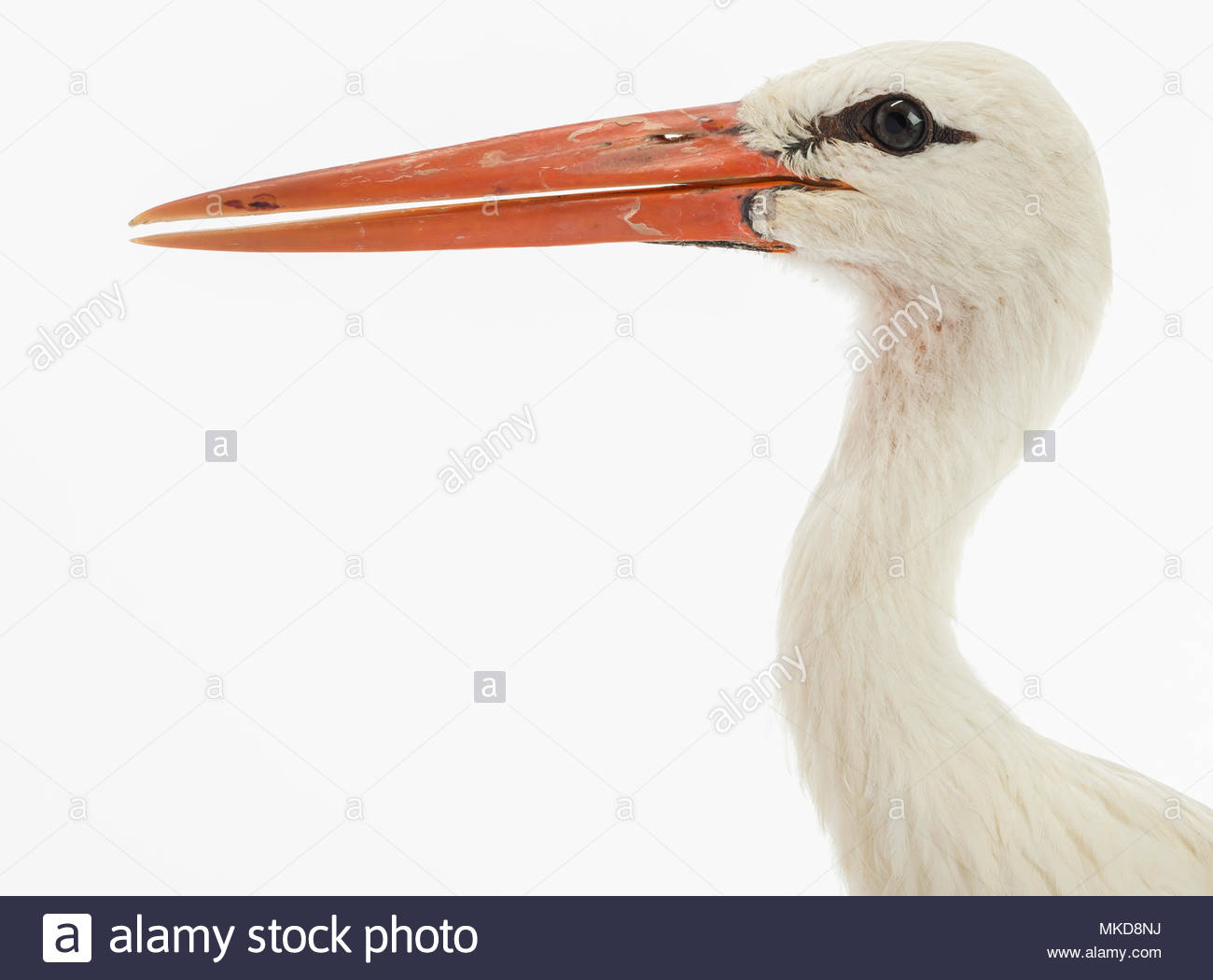 White stork, (Ciconia ciconia), isolated on white Mulhouse Zoological and Botanical Park, France - Stock Image