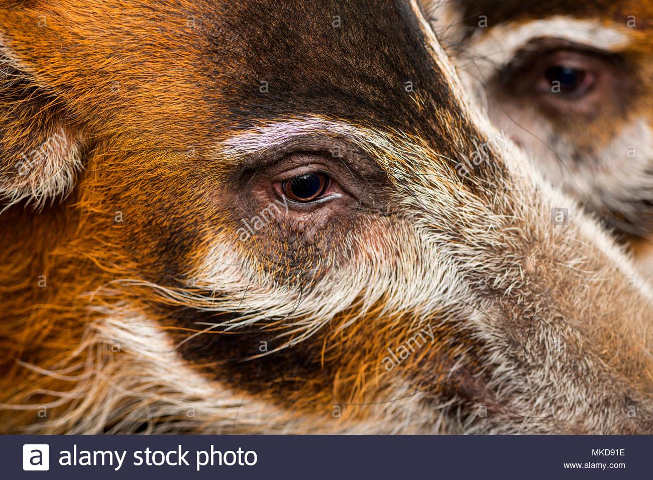 Macro of Bush pig's heads, (Potamochoerus porcus), Mulhouse Zoological and Botanical Park, France - Stock Image
