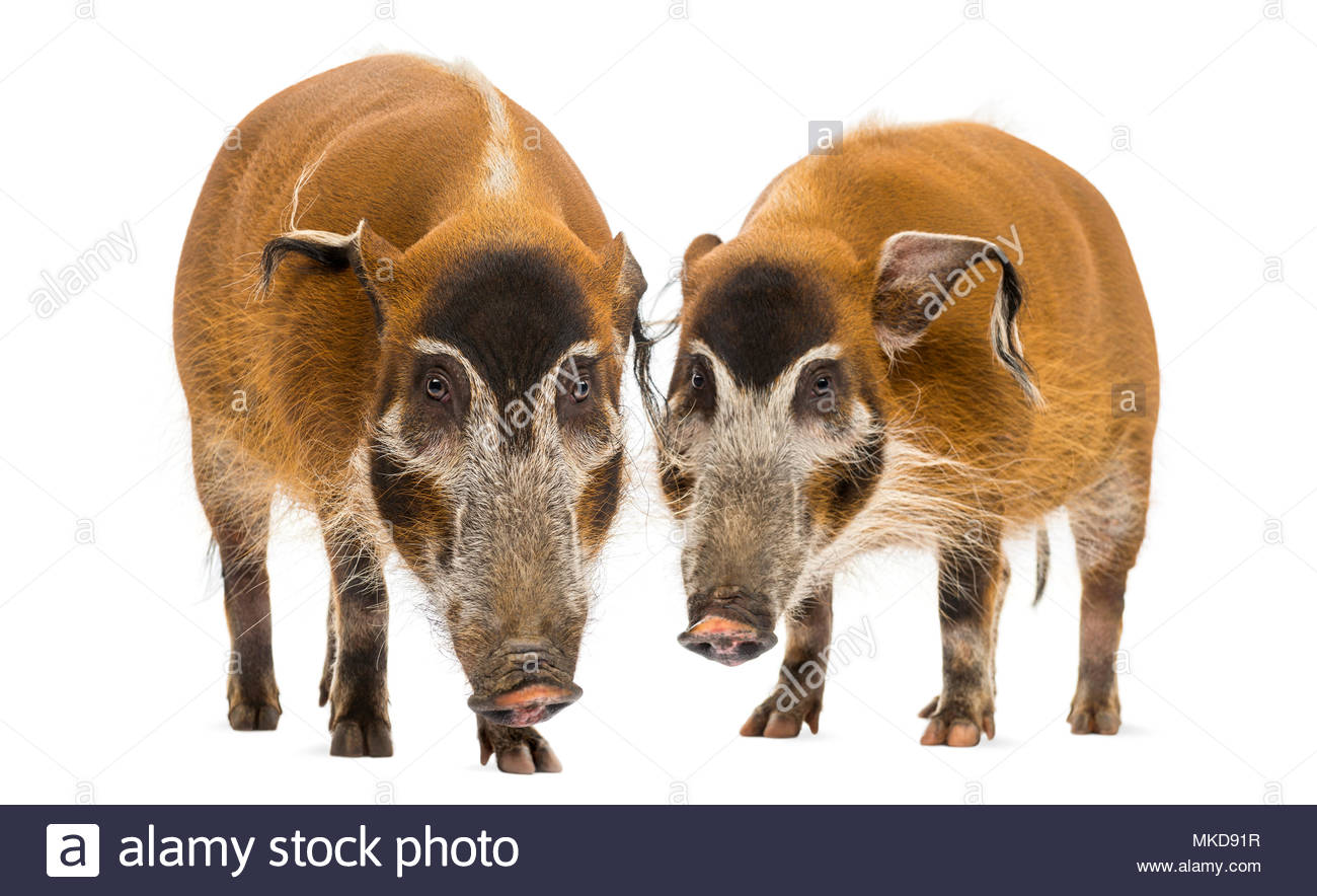 Front view of two Bush pigs standing, (Potamochoerus porcus), isolated on white Mulhouse Zoological and Botanical Park, France - Stock Image