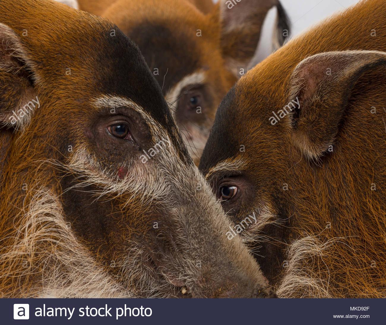 Bush pig, (Potamochoerus porcus), Mulhouse Zoological and Botanical Park, France - Stock Image