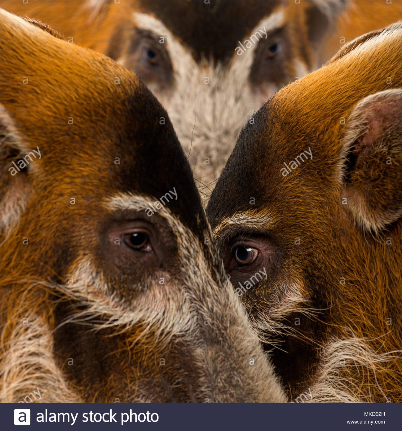 Close-up of Bush pig's heads, (Potamochoerus porcus), Mulhouse Zoological and Botanical Park, France - Stock Image