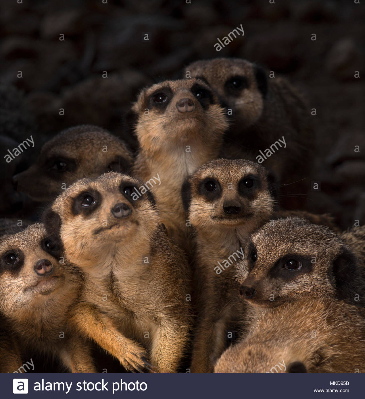 Close-up of a mob of Meerkats, (Suricata suricatta) Mulhouse Zoological and Botanical Park, France - Stock Image