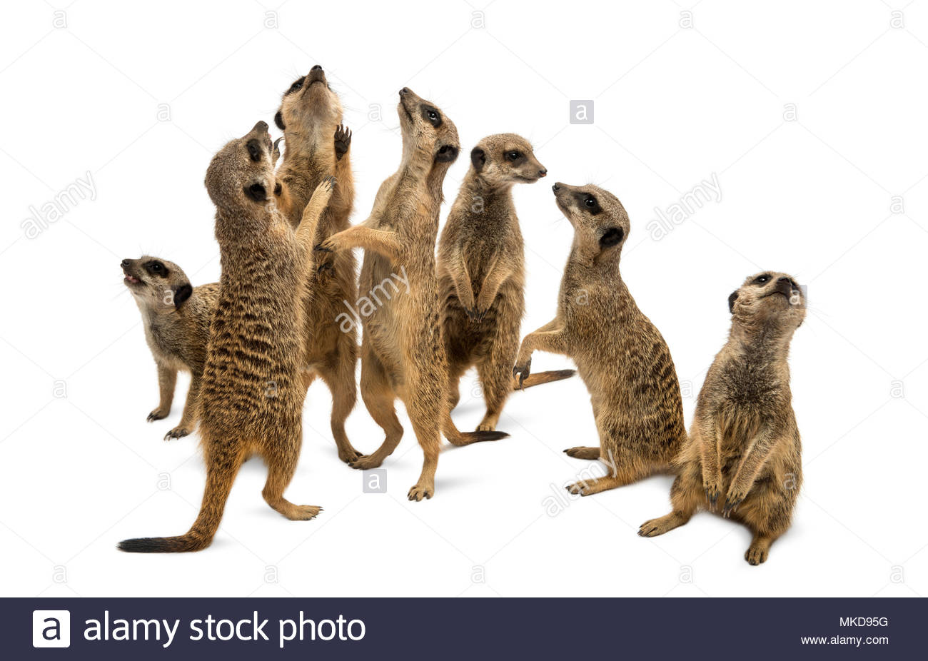 Meerkats mob, (Suricata suricatta), isolated on white Mulhouse Zoological and Botanical Park, France - Stock Image
