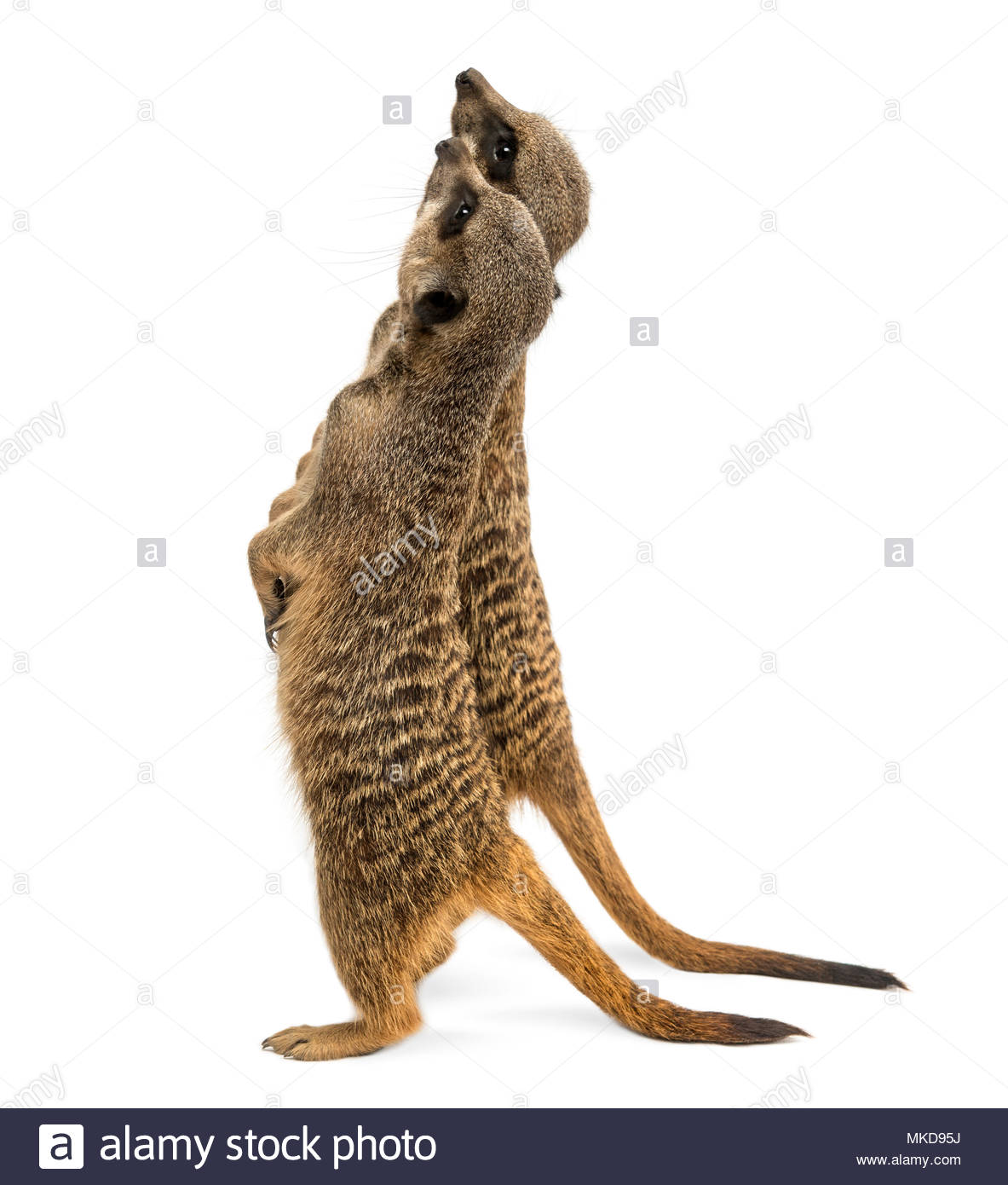 Rear view of two Meerkats standing upright, looking up, (Suricata suricatta), isolated on white Mulhouse Zoological and Botanical Park, France - Stock Image