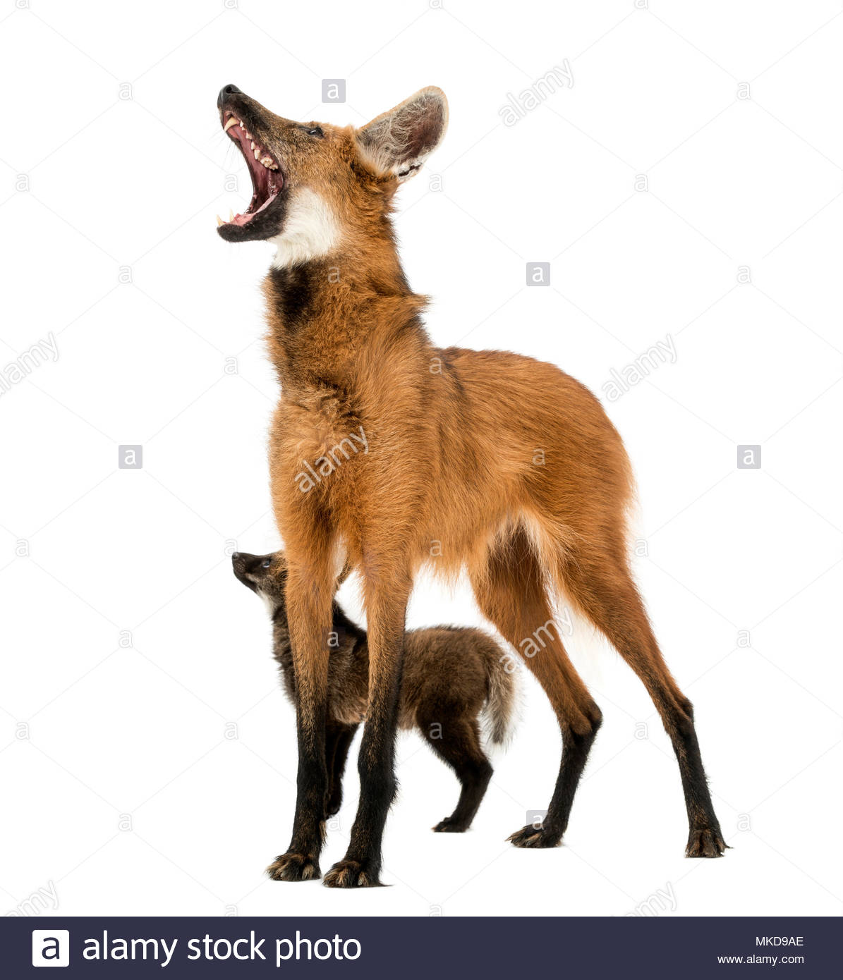 Maned Wolf cub and mom howling, (Chrysocyon brachyurus), isolated on white Mulhouse Zoological and Botanical Park, France - Stock Image