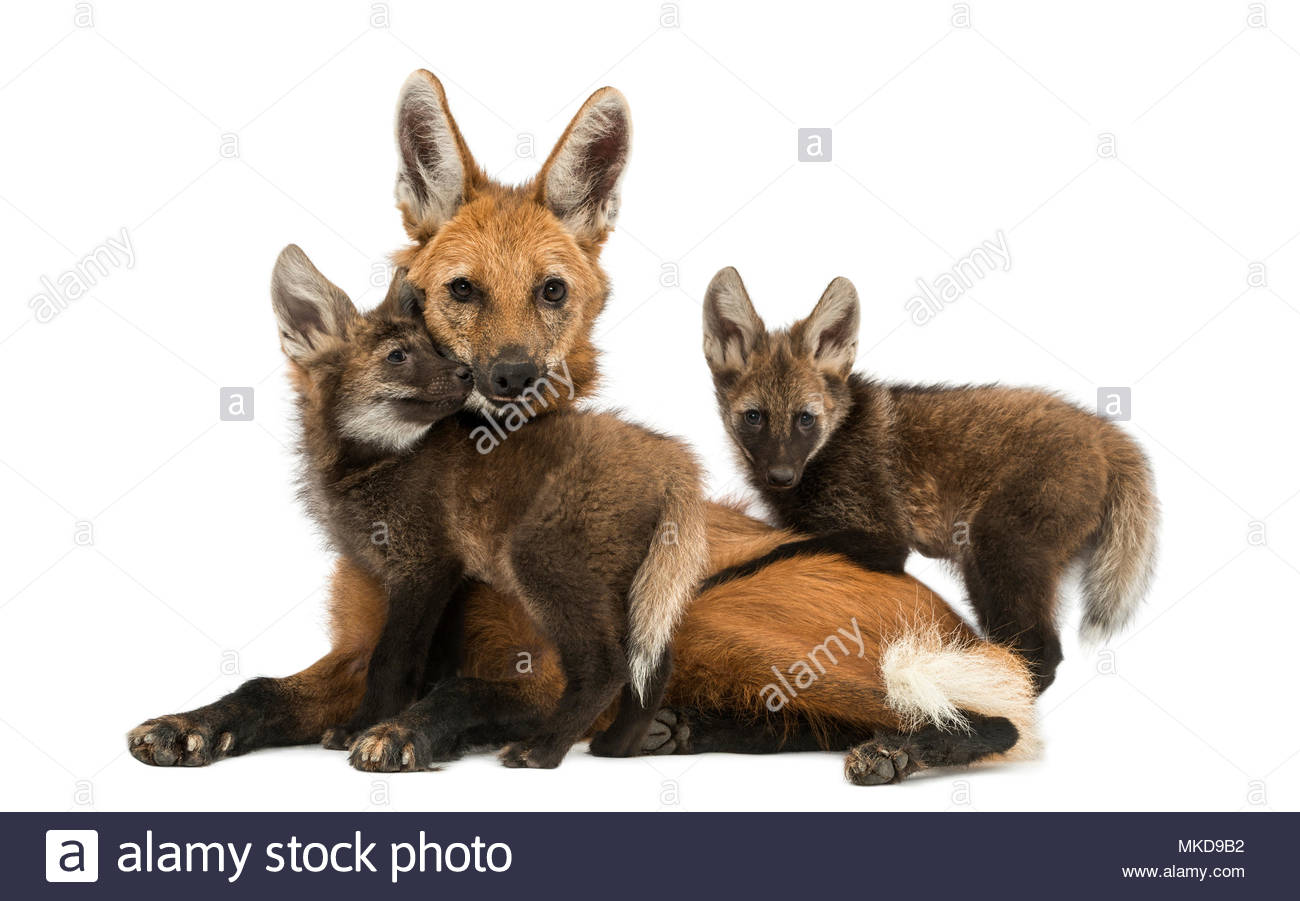 Maned wolf mom and cubs cuddling, looking at the camera, (Chrysocyon brachyuru)s, isolated on white Mulhouse Zoological and Botanical Park, France - Stock Image