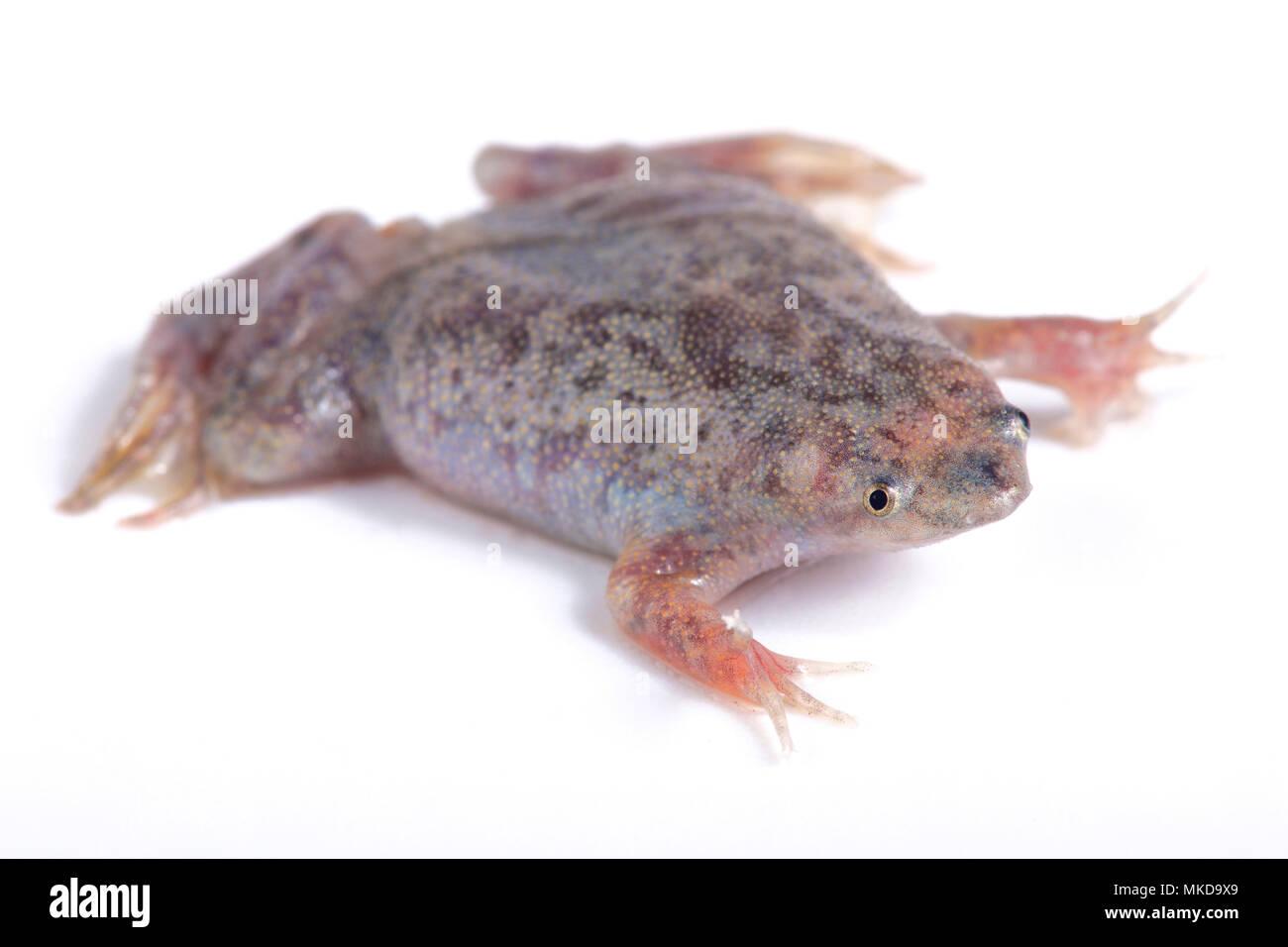 Sabana Surinam toad (Pipa parva) on white background - Stock Image