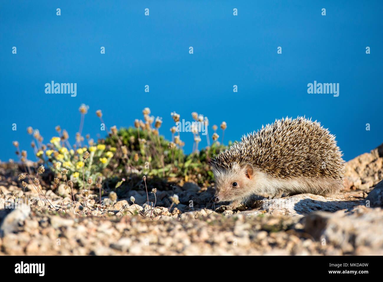 African Hedgehog (Atelerix algirus), Ibiza, Spain - Stock Image