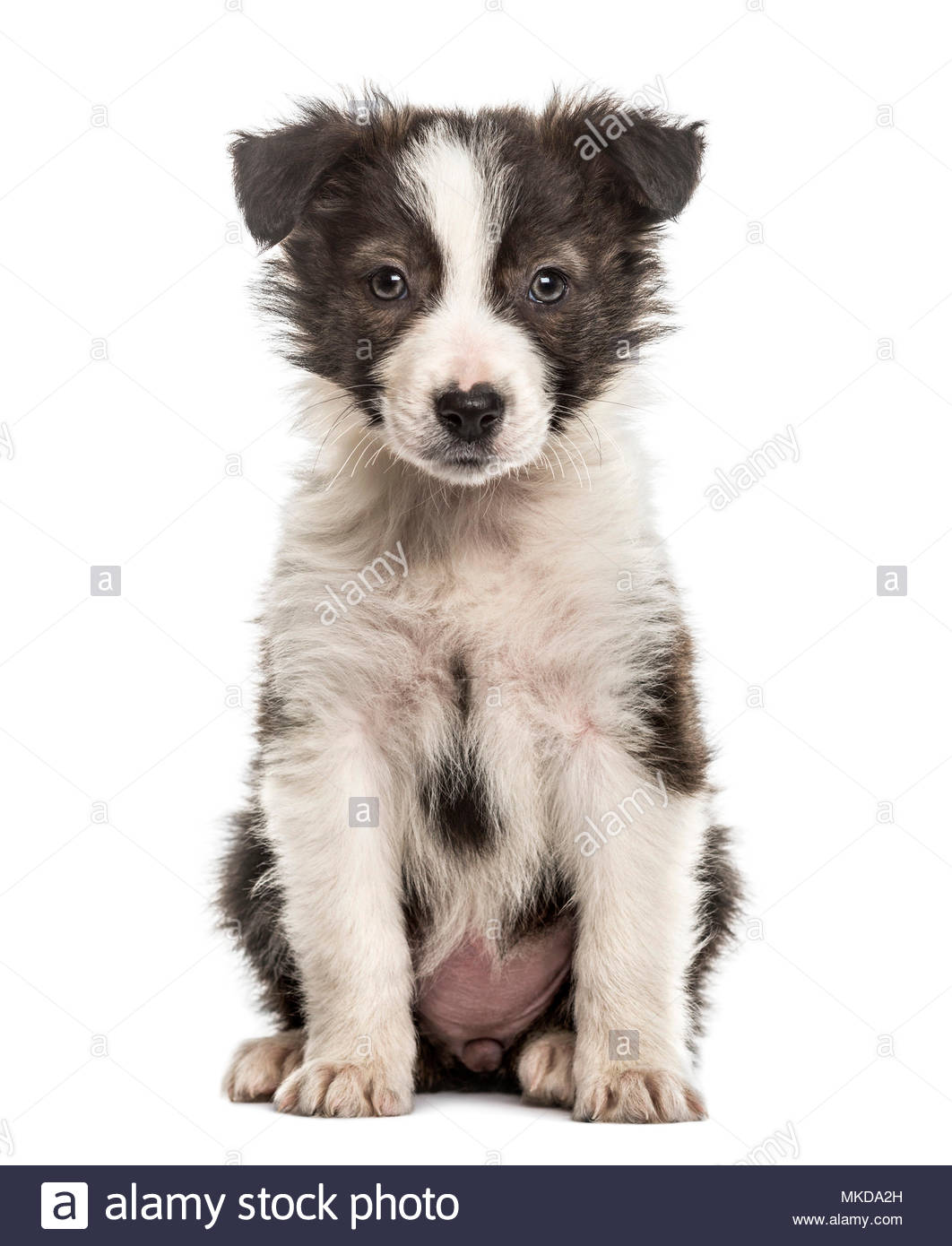 Border Collie puppy sitting, isolated on white background - Stock Image