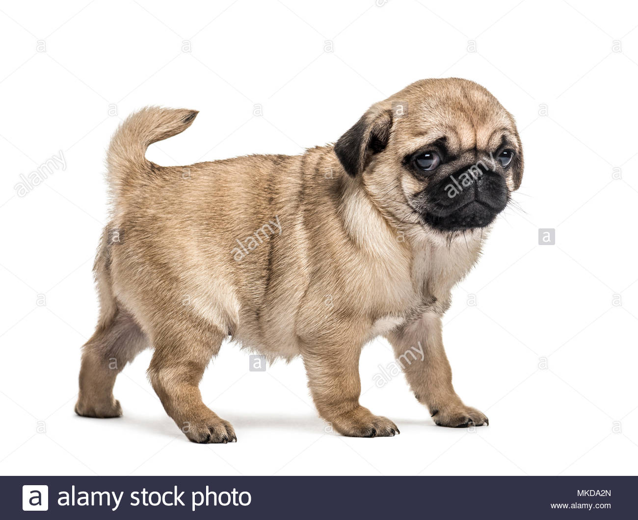 Pug puppy standing, isolated on white background - Stock Image