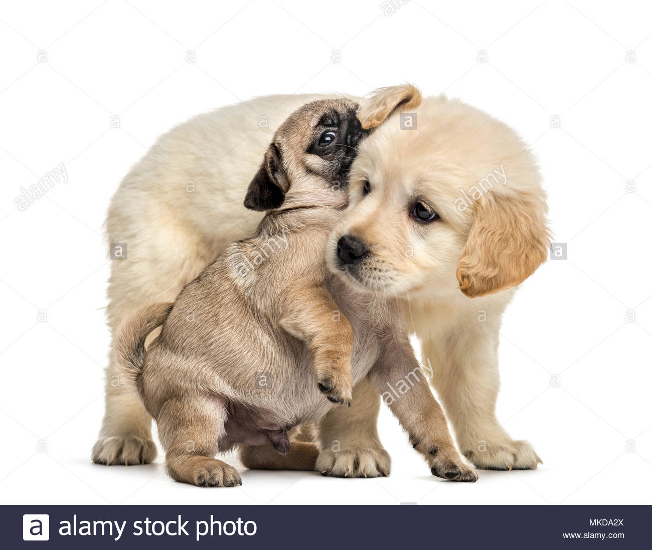 Retriever and pug puppies playing together, isolated on white background - Stock Image