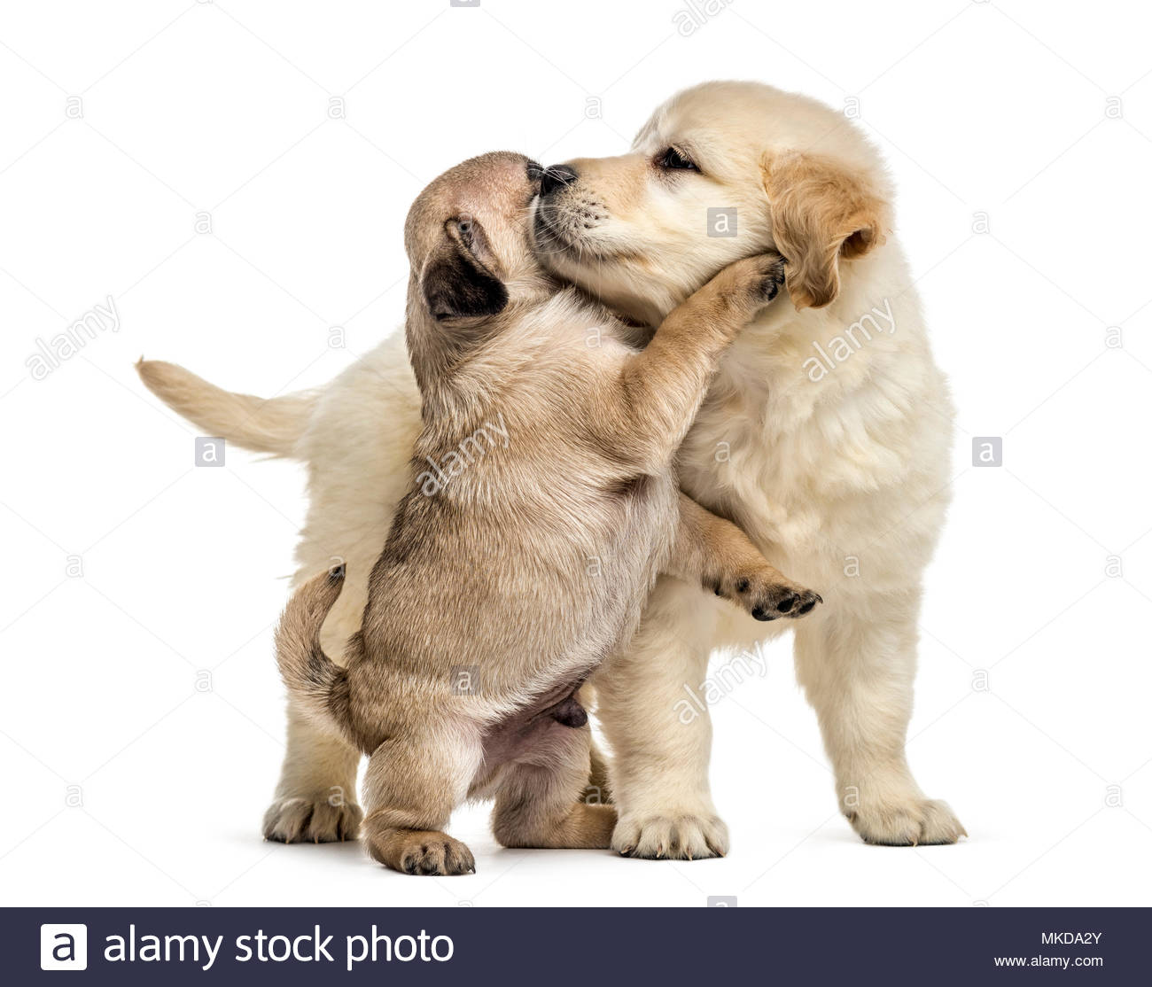 Retriever and pug puppies playing together, isolated on white background Stock Photo