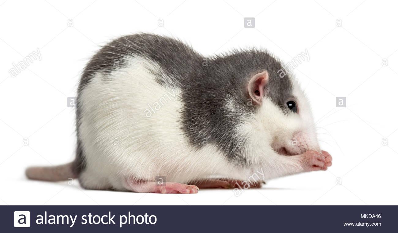Rat washing itself, isolated on white background - Stock Image