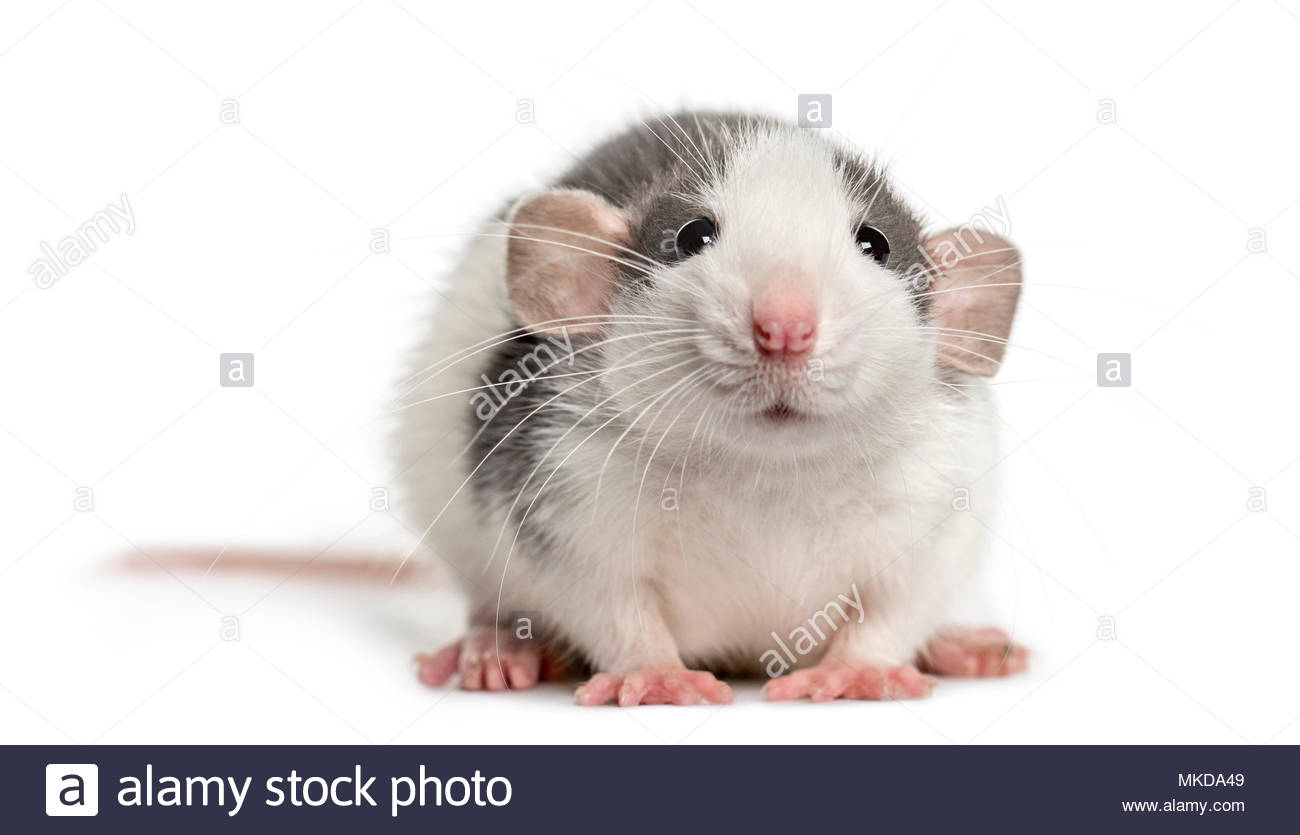 Front view of a rat lying, isolated on white background - Stock Image