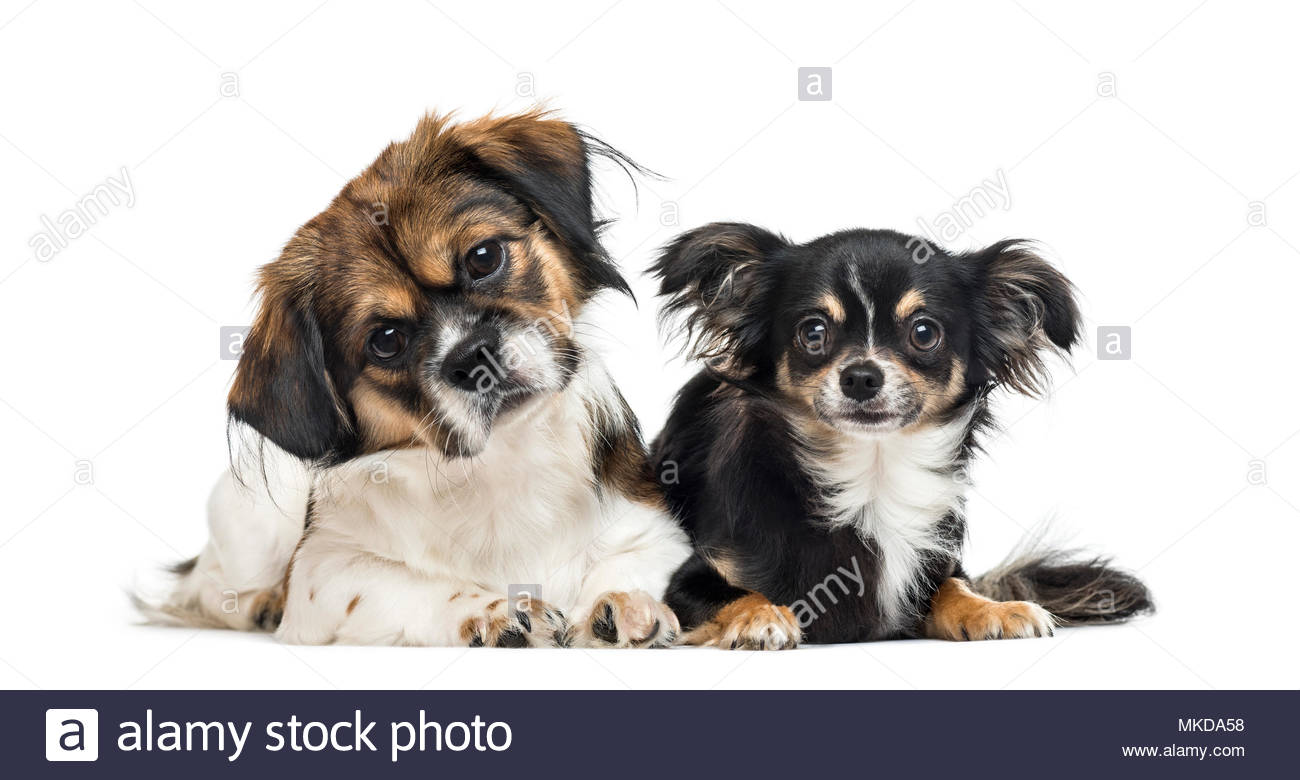 Crossbreed and chihuahua side by side on white background - Stock Image