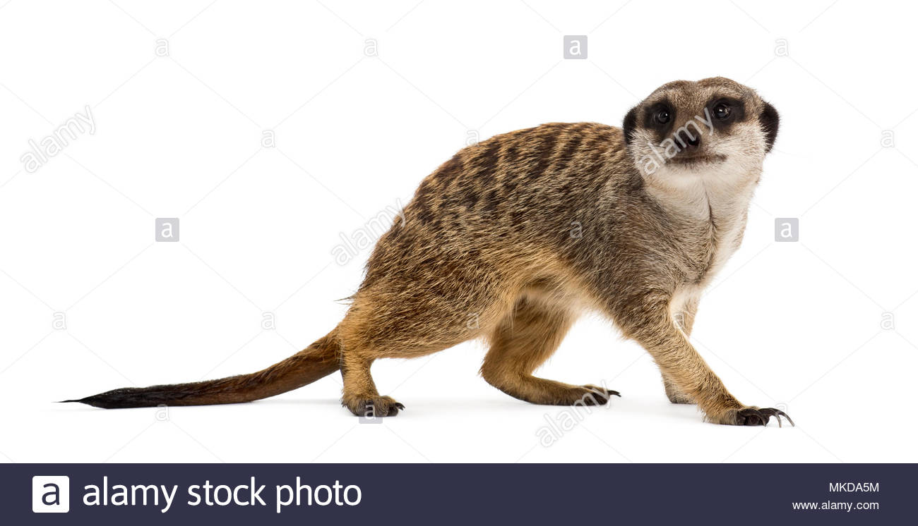 Suricate (Suricata suricatta) standing and looking up in front of white background, Mulhouse Zoological and Botanical Park, France - Stock Image