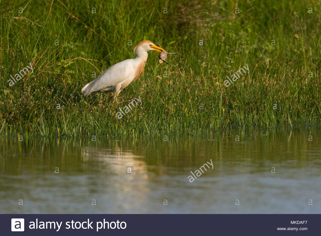 Western Cattle Egret (Bubulcus ibis) with a large Toad, Ler Crotoy, Baie de Somme, Hauts-de-France, France. - Stock Image
