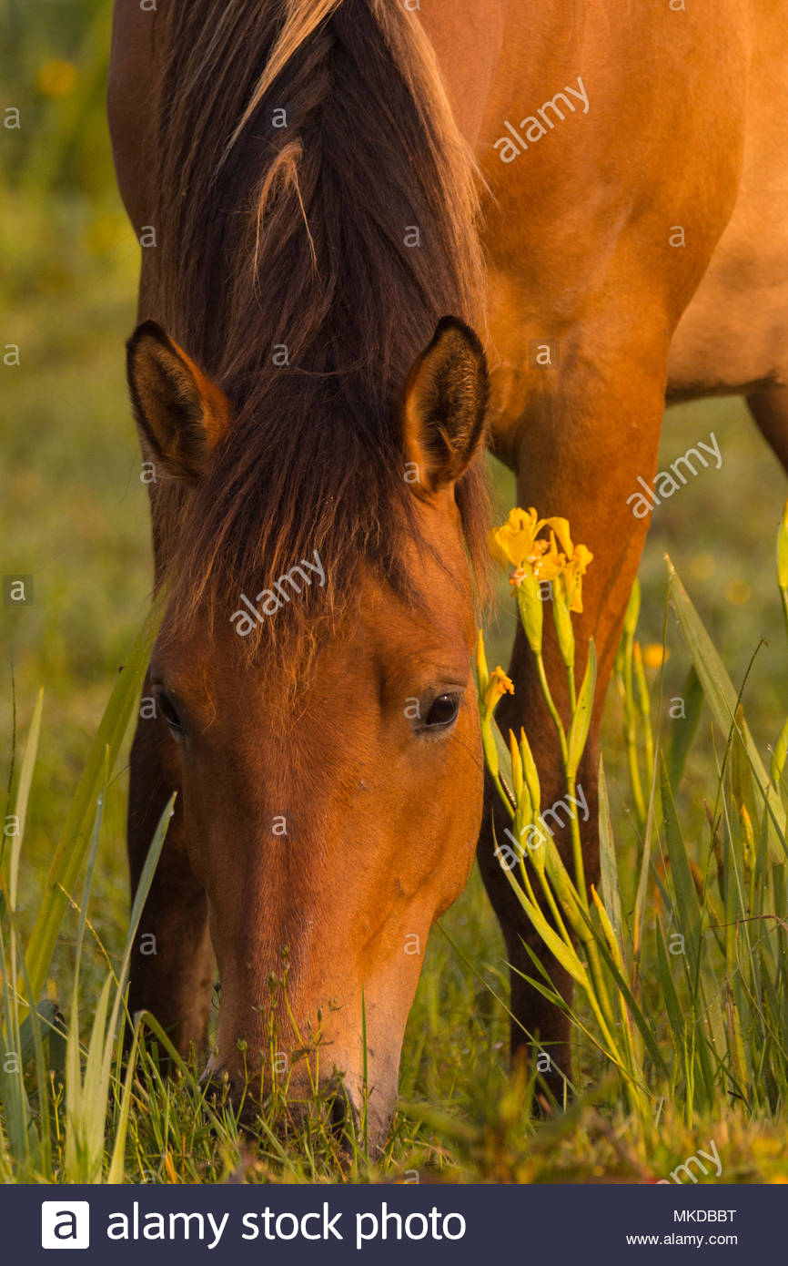 Horse Henson and Iris marsh in a damp pasture at Printemps, Saint-Quentin-en-Tourmont, Bay of Somme, Somme, Picardy, Hauts-de-France, France - Stock Image