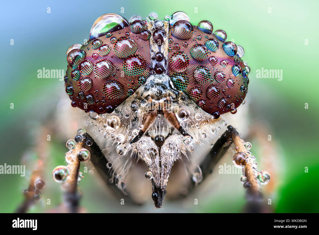 A fly with drops of dew on its eyes Focus stacking of 40 images - Stock Image