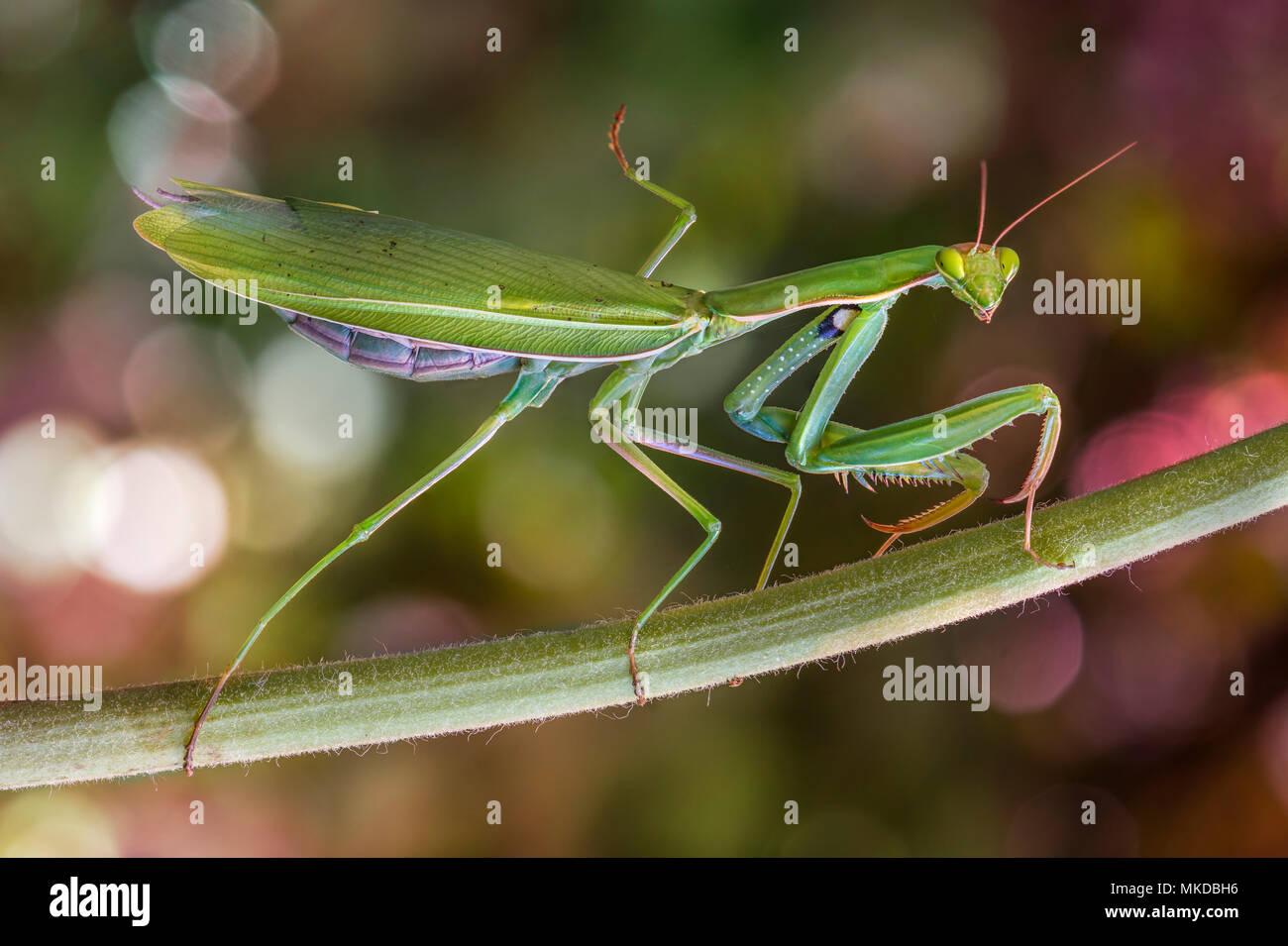 Praying mantis (Mantis religiosa) female on a stem - Stock Image