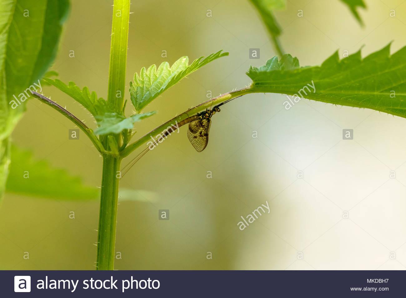 Mayfly (Ephemera danica) on a leaf, Aisy-sur-Armancon, Burgundy, France - Stock Image