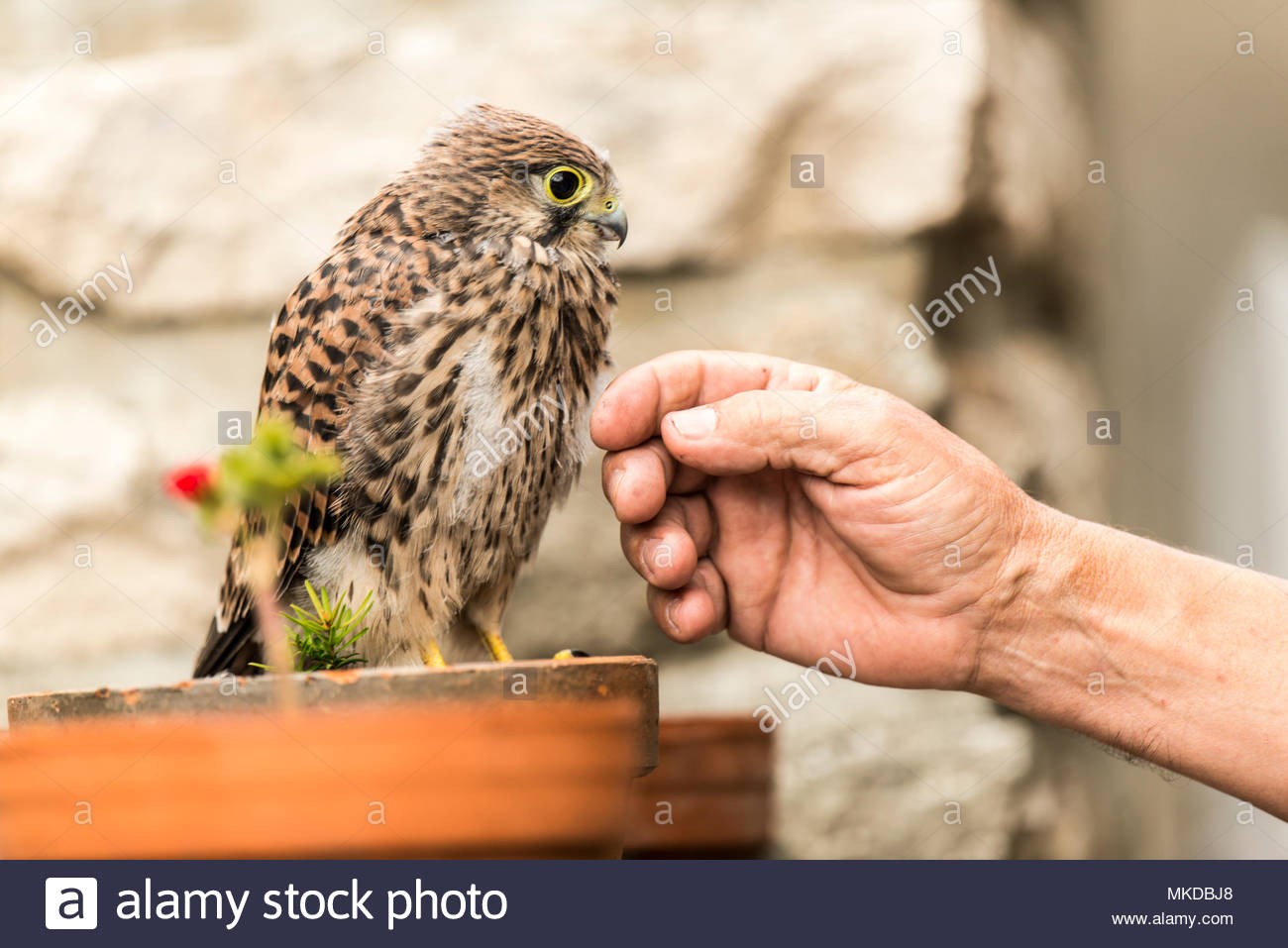 Common Kestrel (Falco tinnunculus) on a flowerpot approached by a man, Rougemont, Burgundy, France - Stock Image