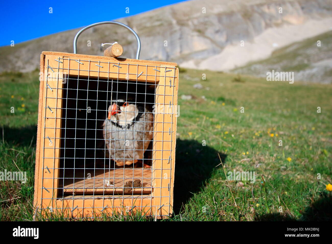 Study of the National Office of Hunting and Wildlife on the partridge bartavelle (Alectoris graeca). Using a caller to capture wild birds, Alps, France - Stock Image