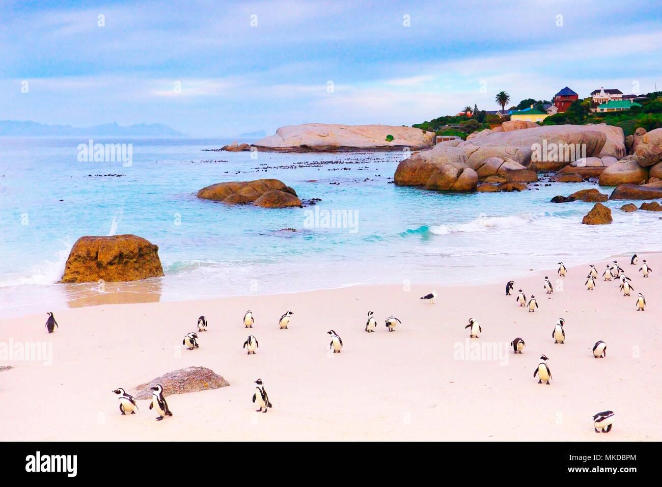 Jackass penguins (Spheniscus demersus) on a beach, Boulders Beach, South Africa - Stock Image