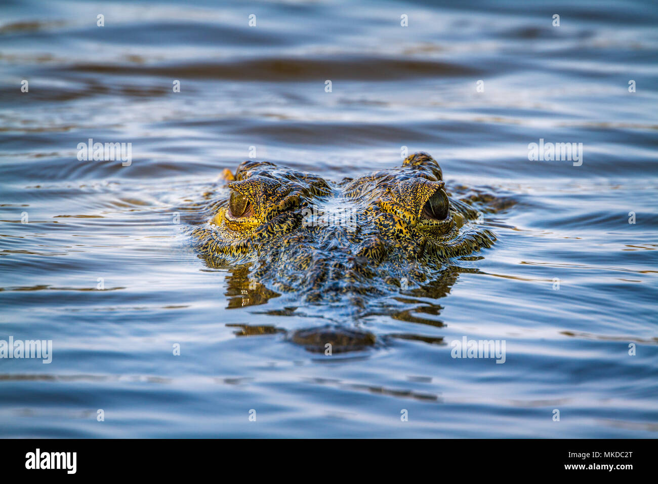 Nile crocodile (Crocodylus niloticus) in Kruger National park, South Africa - Stock Image