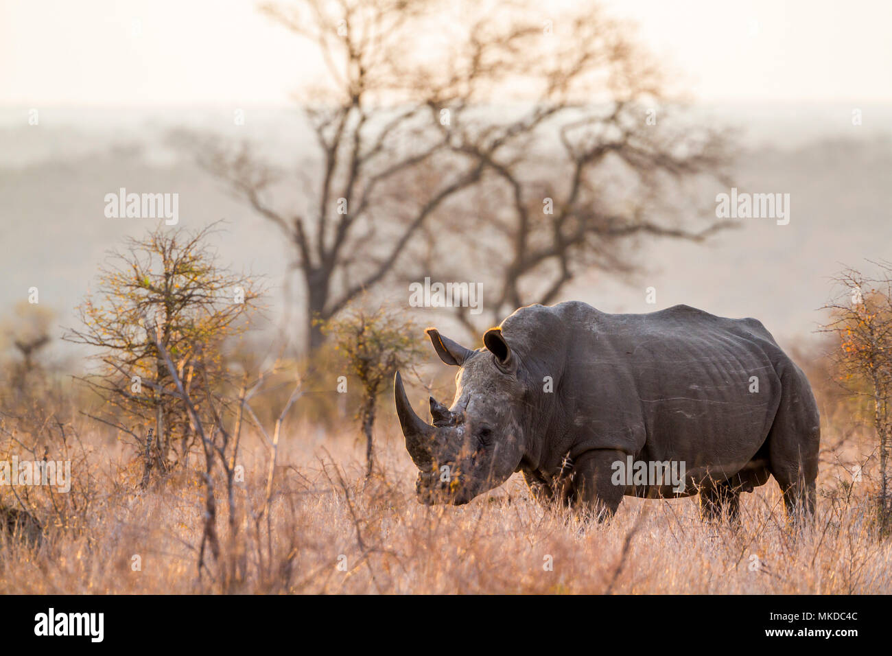 Southern white rhinoceros (Ceratotherium simum simum) in Kruger National park, South Africa - Stock Image