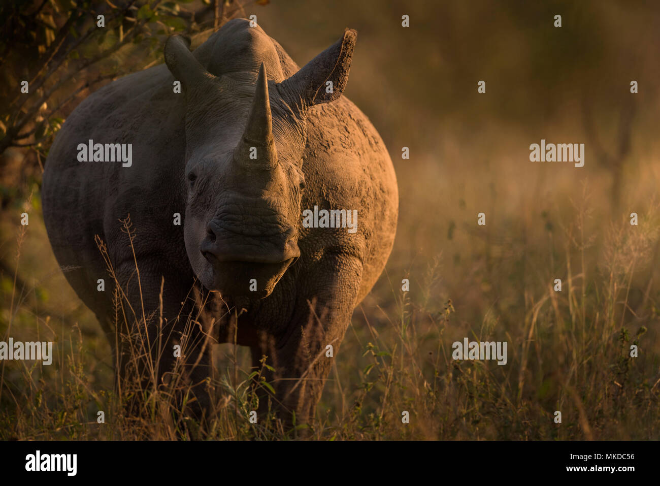 White Rhinoce?ros (Ceratotherium simum), Kruger national parc, South Africa - Stock Image