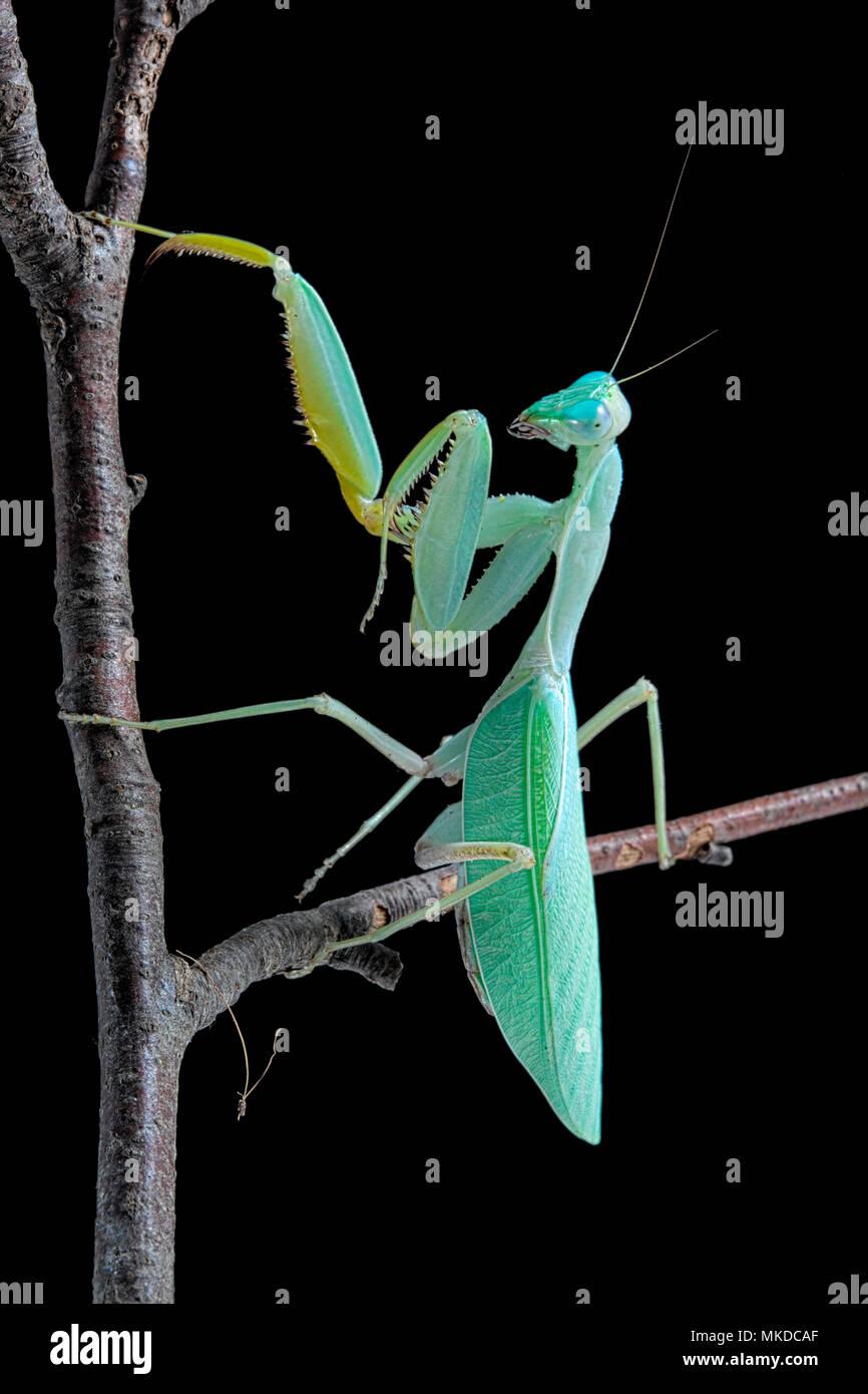 African praying mantis (Sphodromantis lineola) on black background. - Stock Image