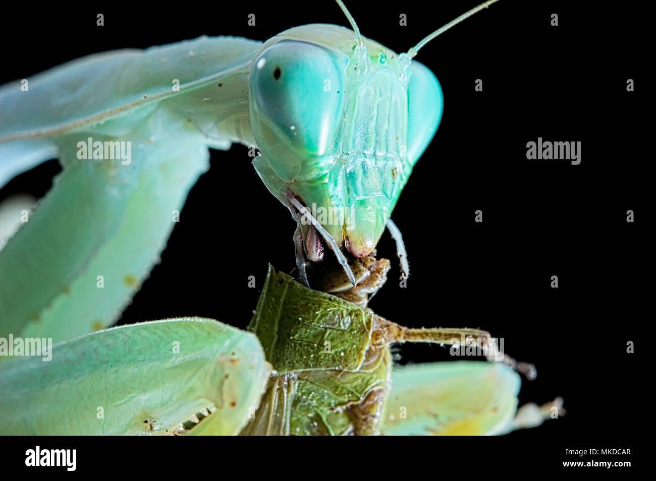 African praying mantis (Sphodromantis lineola) feeding on locust on black background. Stock Photo