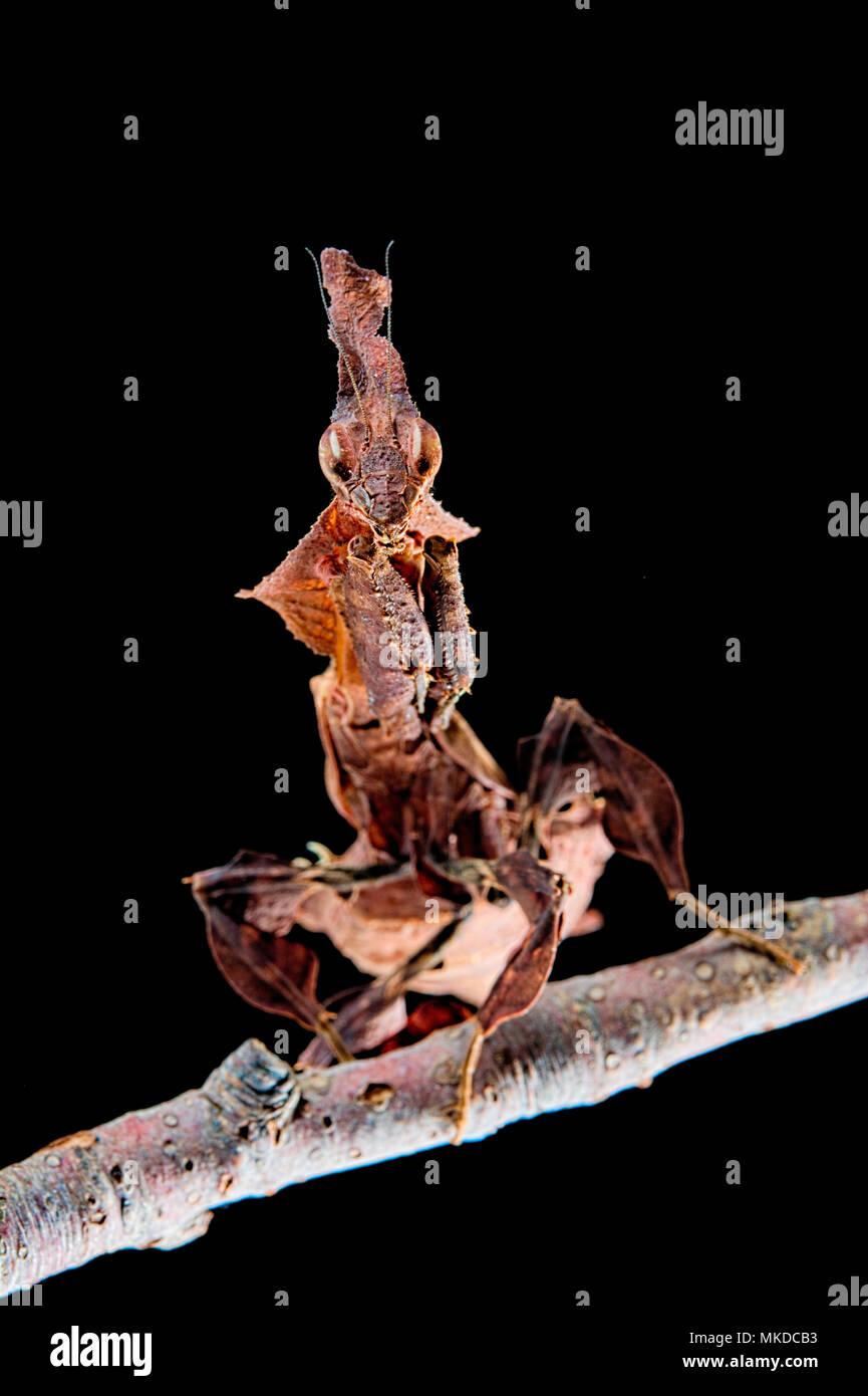 Ghost mantis (Phyllocrania paradoxa) on black background - Stock Image
