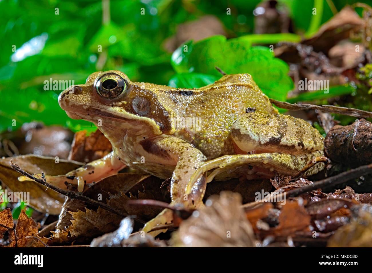 Common frog (Rana temporaria), France - Stock Image