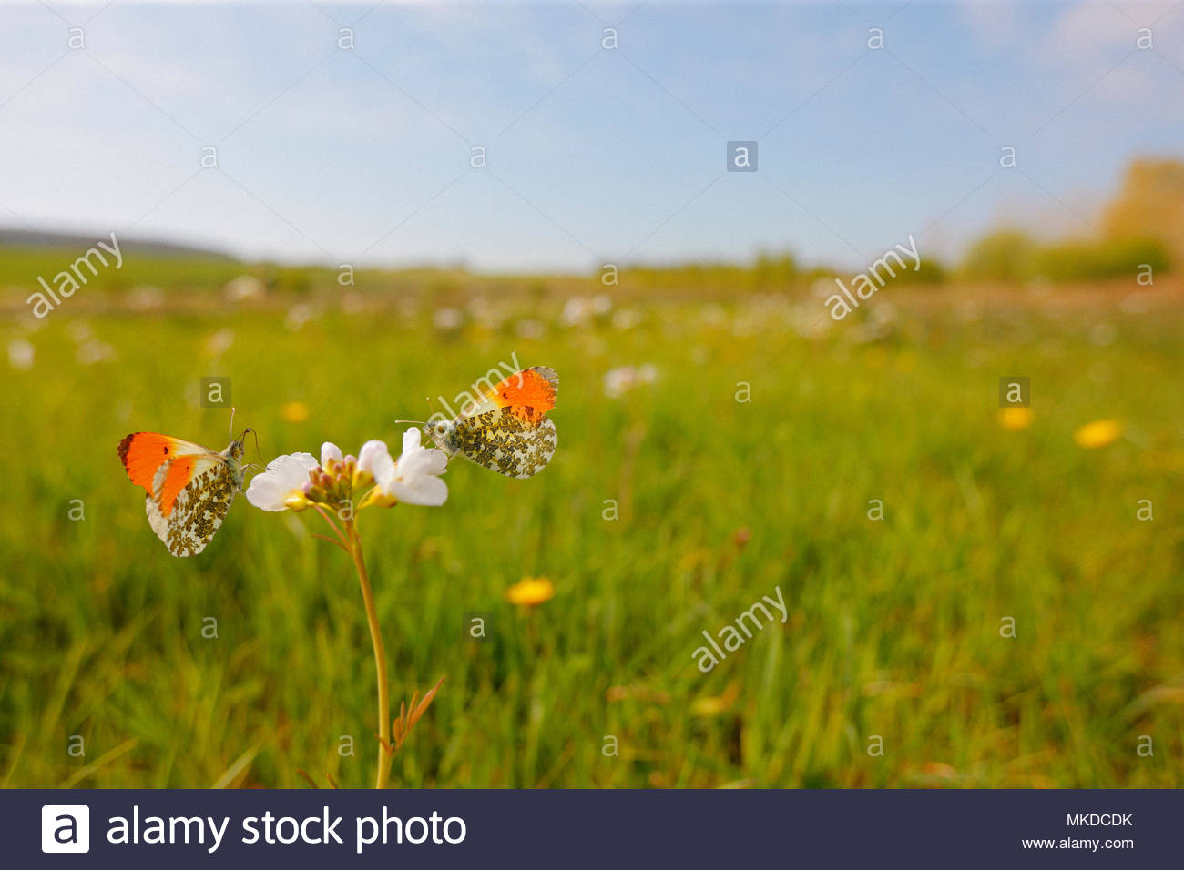Orange tip (Anthocharis cardamines) males foraging Cuckoo flower (Cardamine pratensis) flowers in a wet meadow in a marsh, in spring, in April, in Picardy - France. Stock Photo