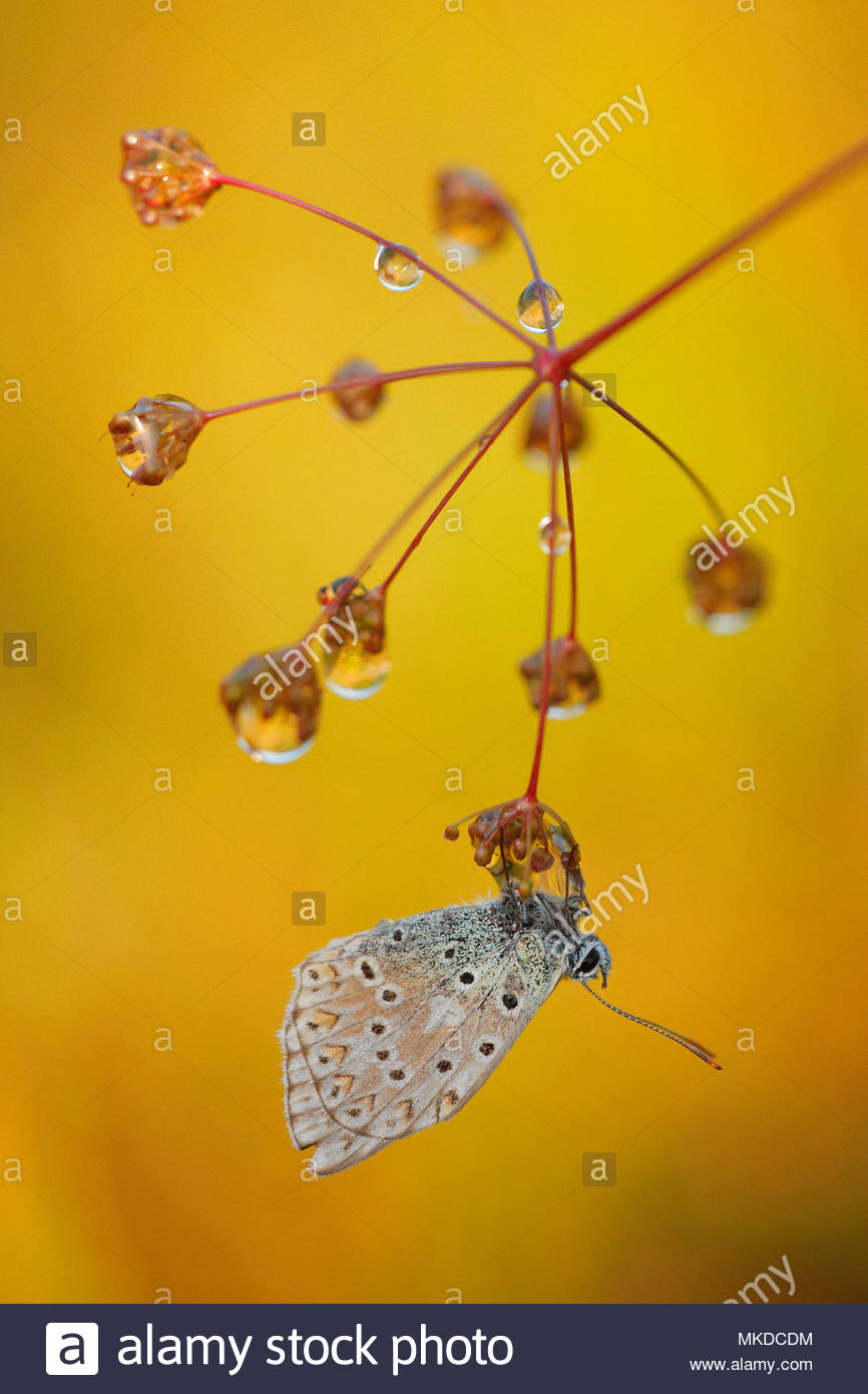 Chalkhill Blue (Polyommatus coridon) resting on an apiacea umbelliferous covered with morning dew on the grass of a limestone hill, in summer, in August, in Picardy - France. - Stock Image
