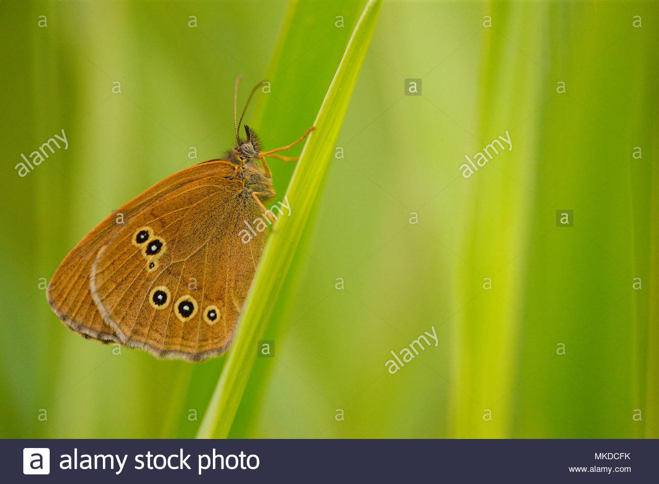 Ringlet (Aphantopus hyperantus) resting on the leaves of sedges at the edge of a stream at the edge of a wood, in summer, in June, in Picardy - France. - Stock Image