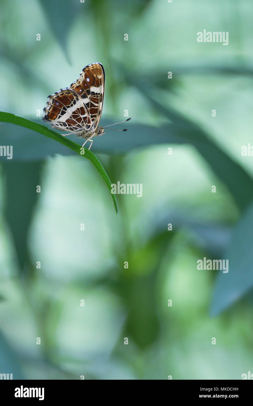 Map Butterfly (Araschnia levana) second generation on Aster leaves in a private garden of the bourbonnais bocage, Auvergne, France Stock Photo
