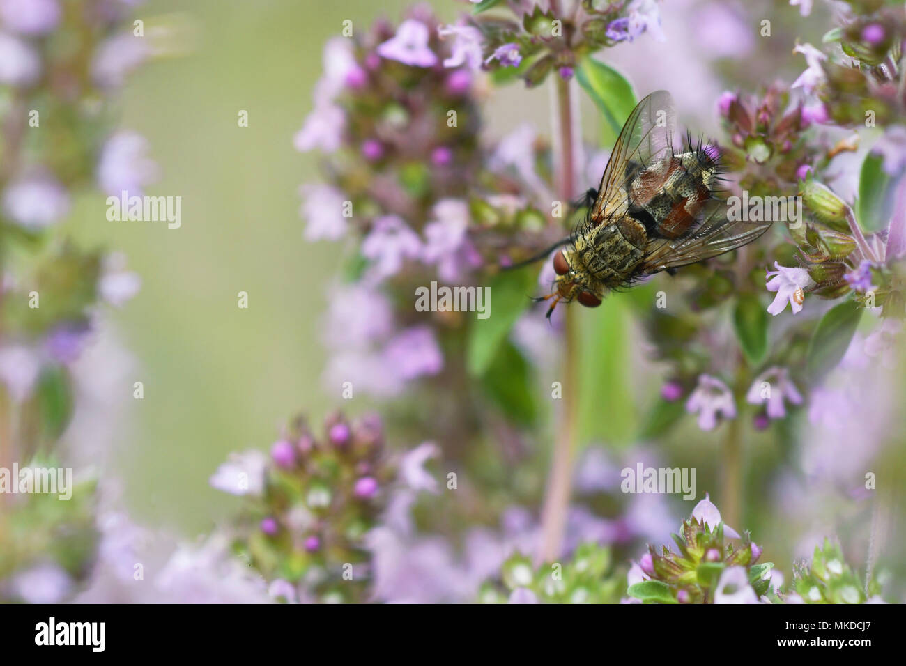 Tachinid fly (Peleteria varia) on a stem of wild Thyme in a meadow of biological pasture of the bourbonnais grove in summer, Auvergne, France Stock Photo