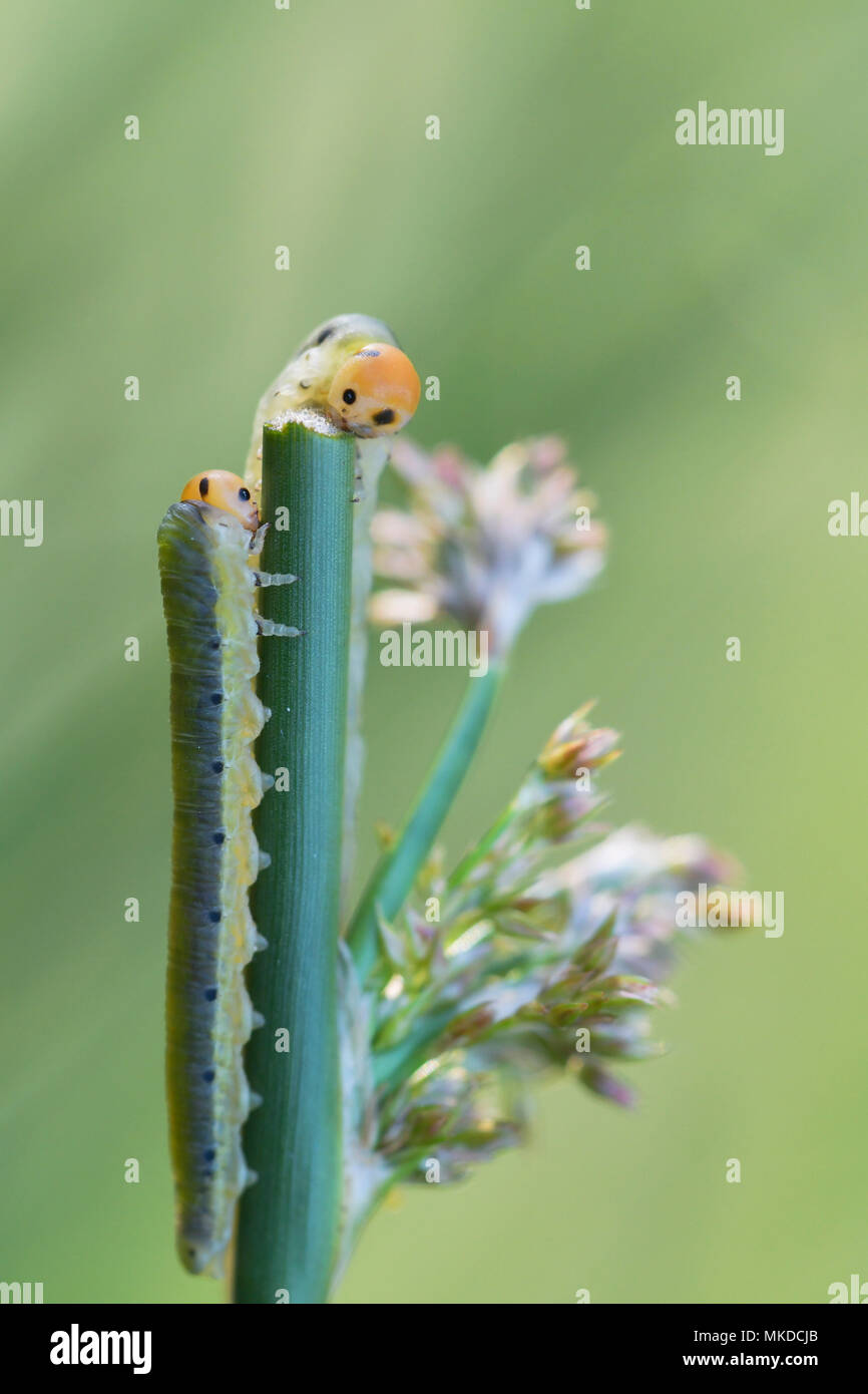 Larvae of rush sawfly (Dolerus ferrugatus) or false caterpillars feeding on a rod at the edge of a small pond in the Allier in spring, Auvergne, France - Stock Image
