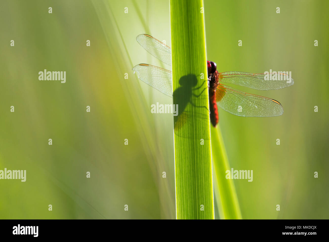 Scarlet Dragonfly (Crocothemis erythraea)in wet meadow Auvergne, France Stock Photo