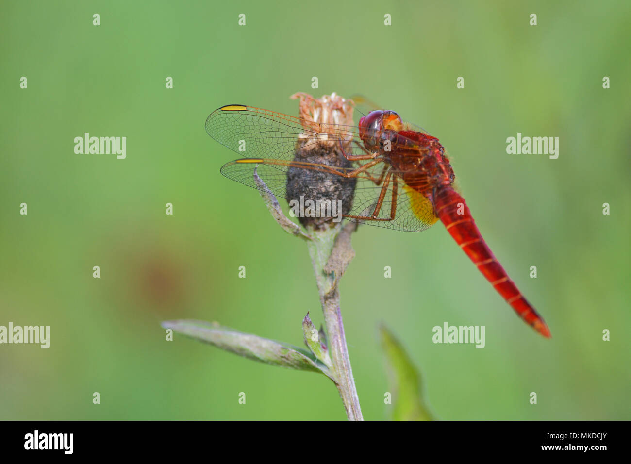 Scarlet Dragonfly (Crocothemis erythraea) a spring evening in a wet meadow, Auvergne, France Stock Photo