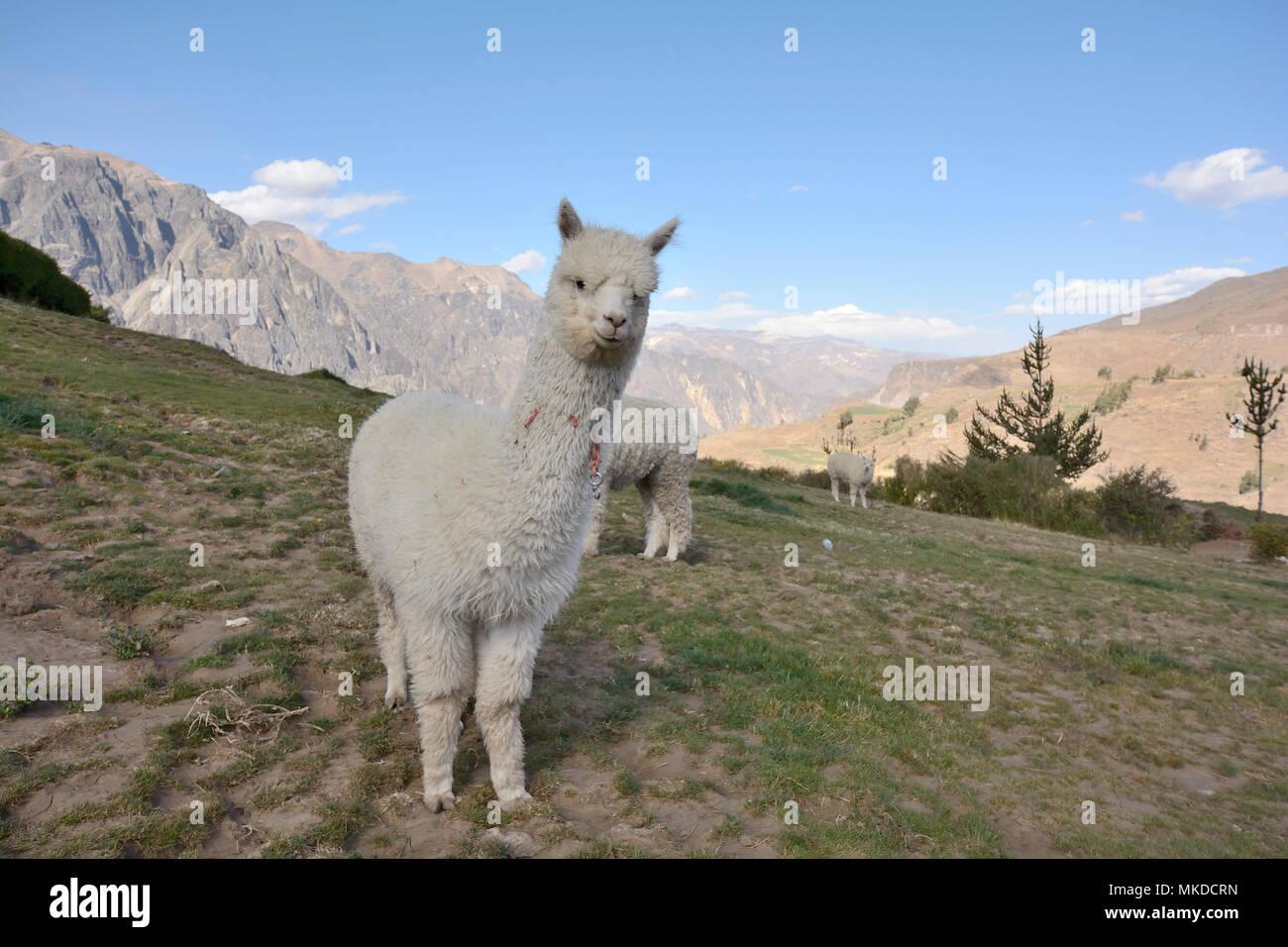 Alpaca (Vicugna pacos), La Granja del Colca Lodge, Colca Canyon, Arequipa Region, Peru - Stock Image