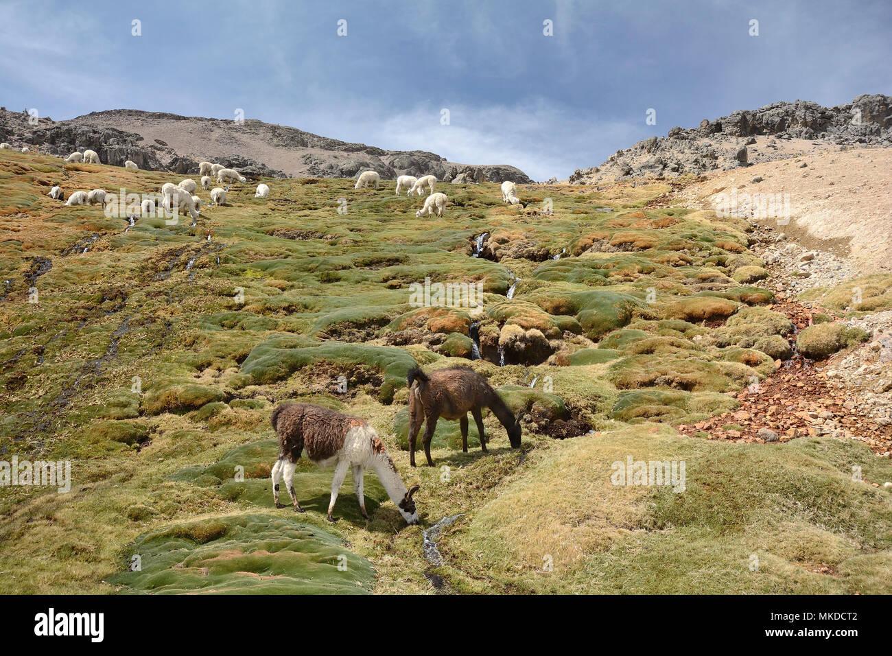 Herd of Alpacas (Vicugna pacos) in the Reserva Nacional Salinas and Aguada Blancas, Arequipa Region, Peru - Stock Image