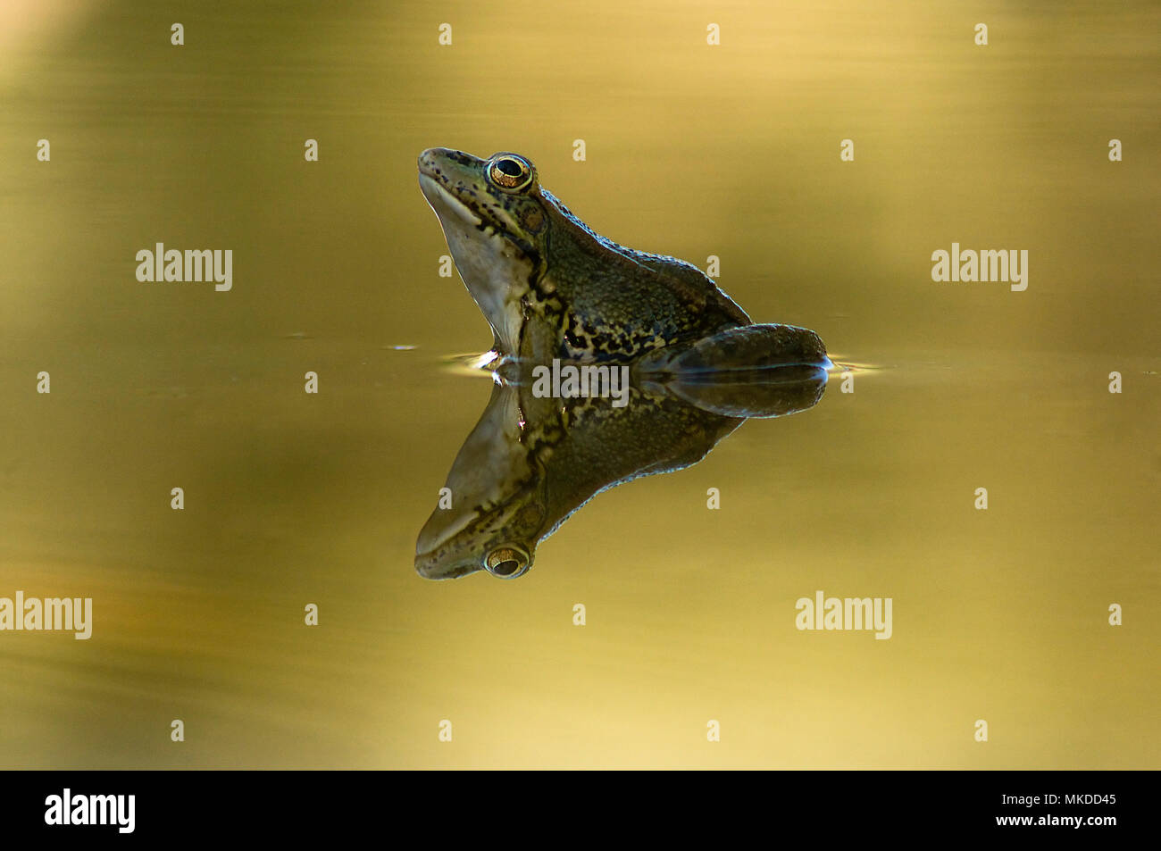 Common Frog (Pelophylax perezi) hunting. Huesca, Spain - Stock Image