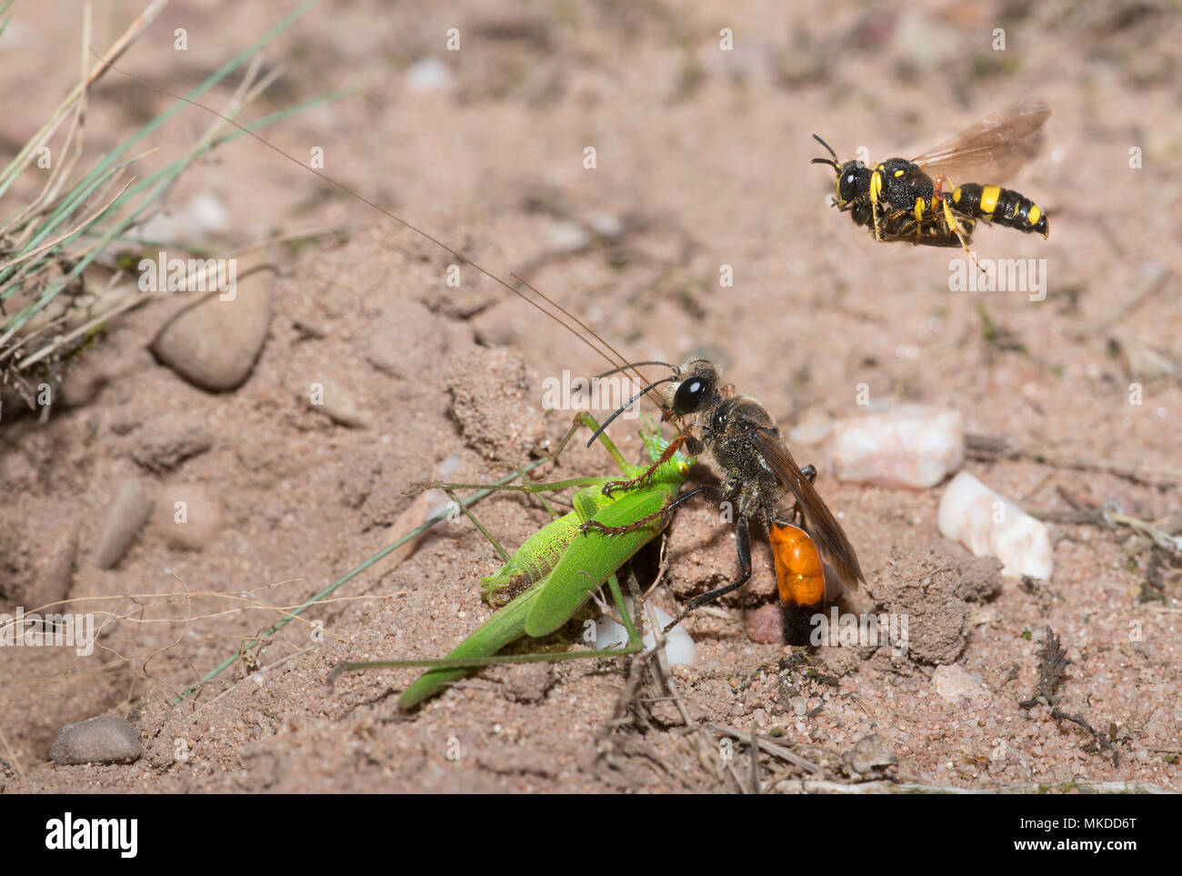 Golden digger wasp (Sphex funerarius) reporting a Sickle-bearing Bush Cricket (Phaneroptera falcata) in its gallery and Ornate Tailed Digger Wasp (Cerceris rybyensis) reporting a Mining bee (Lasioglossum sp), Regional Natural Park of Northern Vosges, France - Stock Image