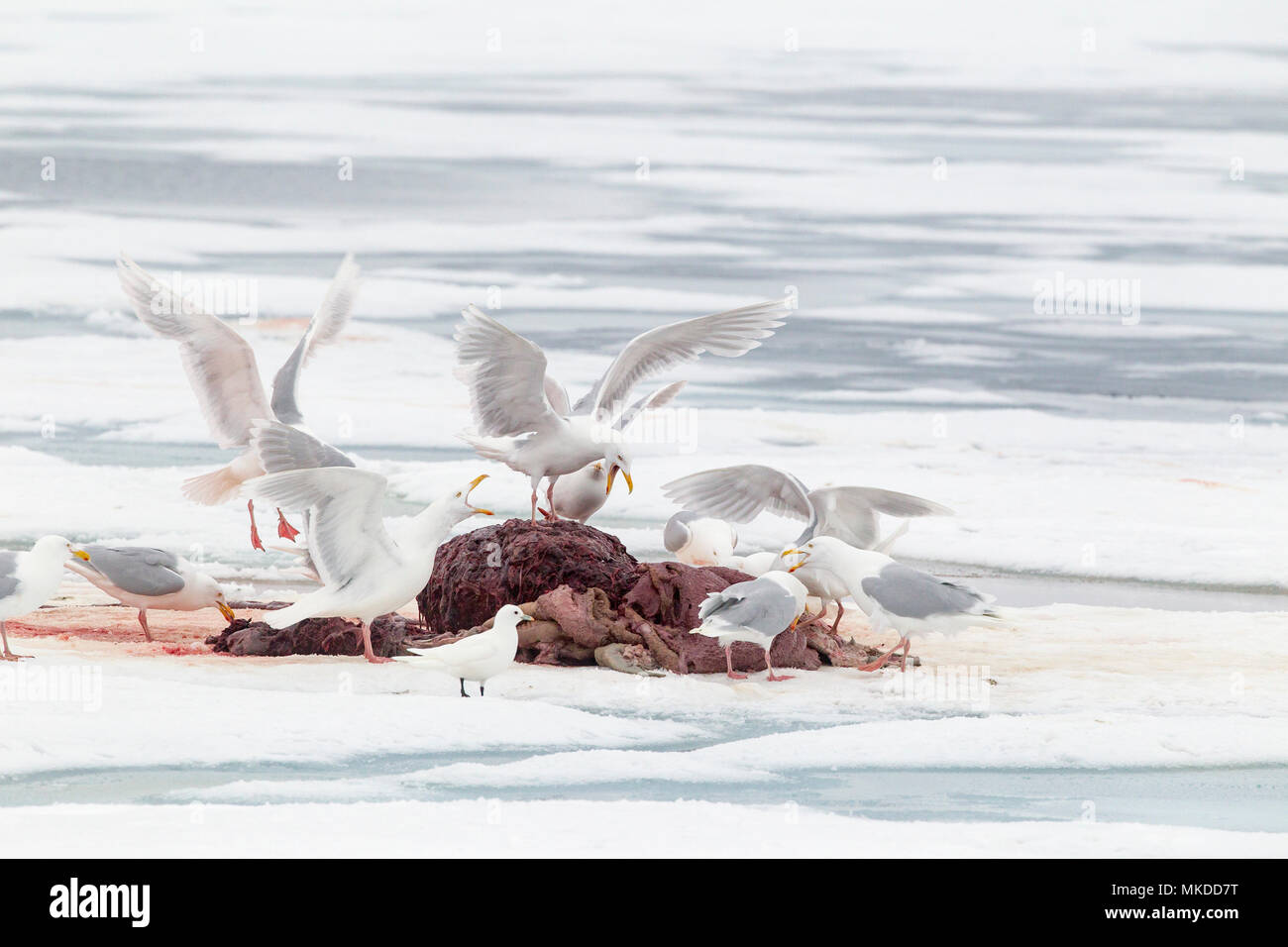 Glaucus gulls (Larus hyperboreus) eating the remain of a walrus (Odobenus rosmarus), on the ice, when polar bear (Ursus maritimus) has finish to eat. Spitsbergen, Svalbard, Norwegian archipelago, Norway, Arctic Ocean - Stock Image