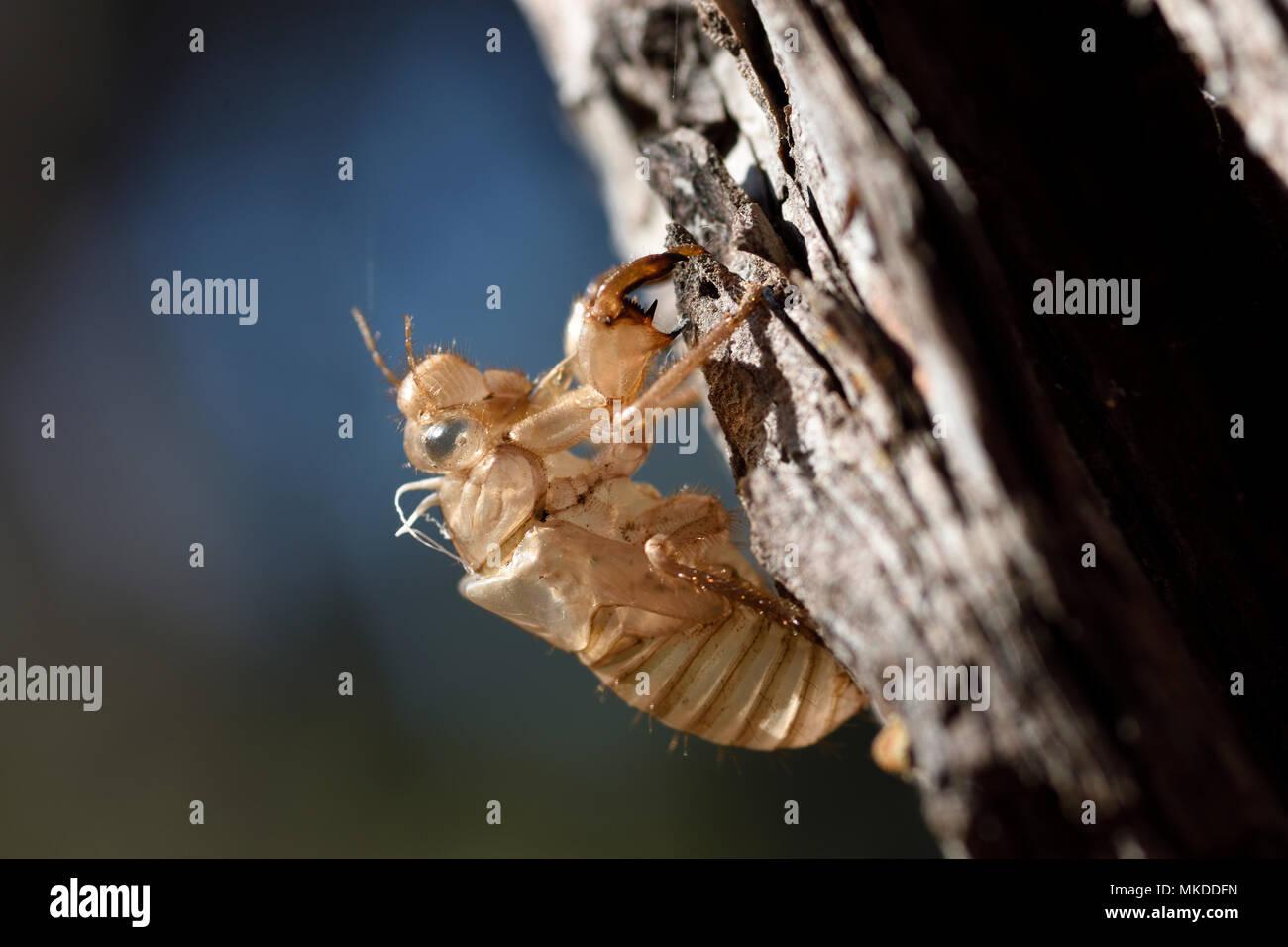 Grey cicada (Cicada orni) exuvia on pine in forest, Sanary, Var, France - Stock Image