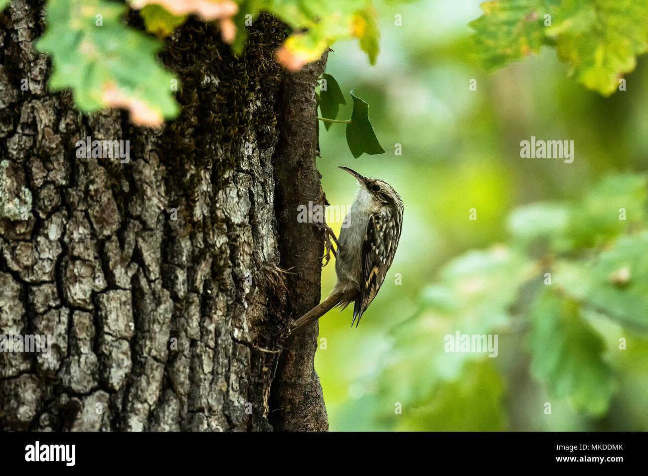 Short-Toed Treecreeper (Certhia brachydactyla), Pyrenees, Spain - Stock Image